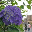 紫陽花には、雨が良く似合う…